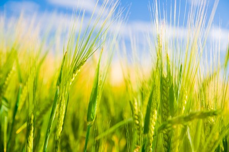 Wheat field. Sunny agriculture landscape Stock Photo - 8105756