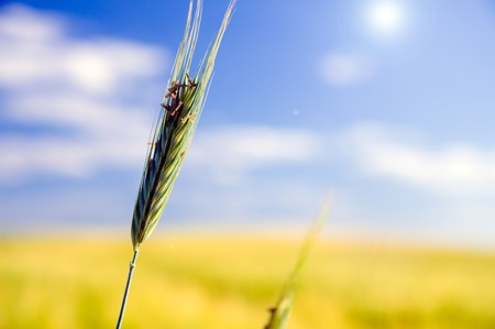 Wheat field. Sunny agriculture landscape photo