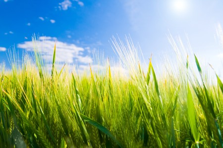 Wheat field. Sunny agriculture landscape Stock Photo - 8105789