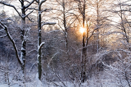 Winter forest sunset, lots of snow photo