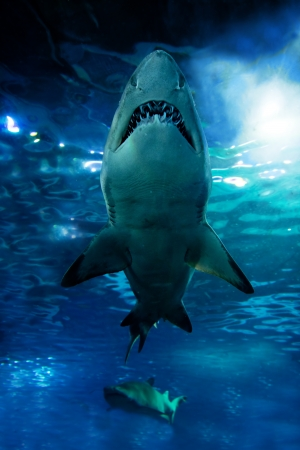 shark teeth: Shark silhouette underwater. Danger concept