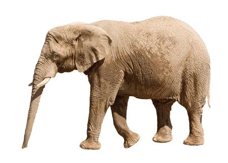 big ear: Big elephant isolated on white background Stock Photo