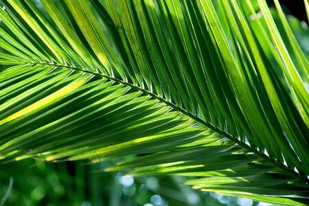Tropical palm leaf with sun backlight photo