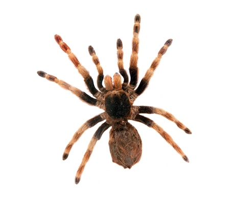 Big hairy spider isolated on white. Top view Foto de archivo
