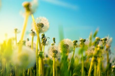 dandelion flower: Flowers on the spring field