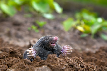 Mole in ground. Real picture photo