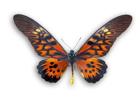 mariposas amarillas: Hermosa mariposa roja aislado en blanco Foto de archivo