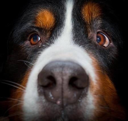 bernese dog: Bernese mountain dog portrait close up