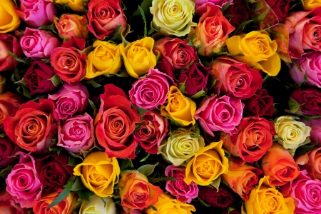 Colorful roses background. Beautiful, high quality, good for holidays, valentiness gift. photo