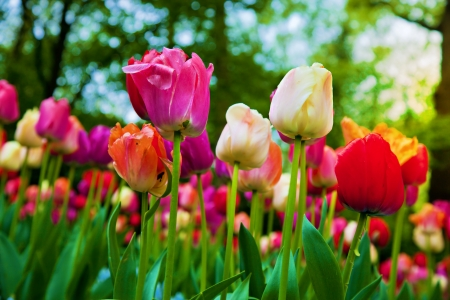 Colorful tulip flowers in a sunny green spring park, garden photo