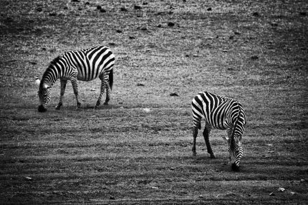 Two zebras eating. Tanzania, Africa in black and white photo