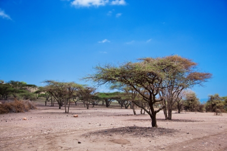 Savannah landscape with acacia trees in Tanzania, Africa photo