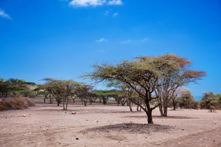 Savannah landscape with acacia trees in Tanzania, Africa Stock Photo - 17205324