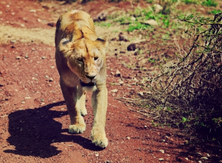 Female lion walking on red soil in Ngorongoro crater in Tanzania, Africa photo