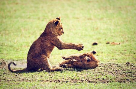 Small lion cubs playing on savannah. Ngorongoro crater in Tanzania, Africa. photo