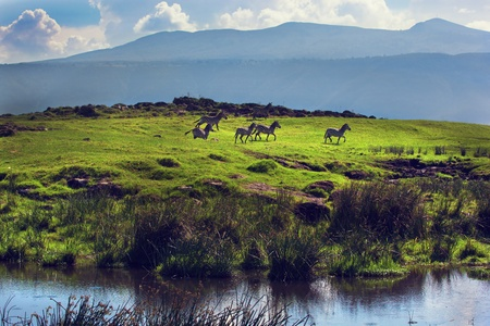 Zebras on green grassy hill. Ngorongoro crater, Tanzania, Africa photo