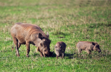 The warthog family on savannah in the Ngorongoro crater, Tanzania, Africa. Stock Photo - 17205282