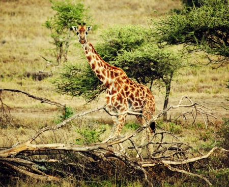 Giraffe on African savanna. Safari in Tanzania photo