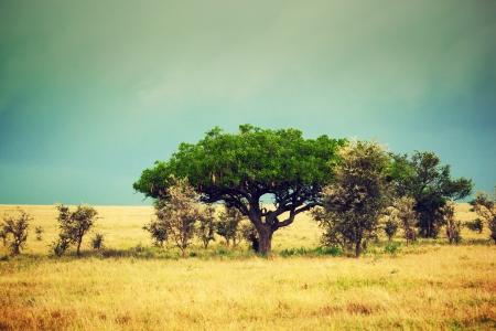 south african: Savanna landscape in Africa, Serengeti, Tanzania. Kigelia called Sausage Tree