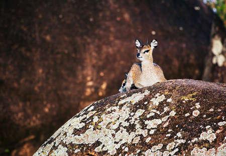 Klipspringer, a small species of African antelope lying on rocks. Safari in Serengeti, Tanzania, Africa Stock Photo - 17641495