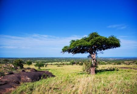 south park: Savanna landscape with a tree in Africa, Serengeti, Tanzania.  Stock Photo