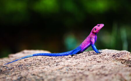 mwanza: The Mwanza Flat-headed Agama on rock. Serengeti, Tanzania in Africa
