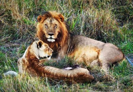 female lion: Male lion and female lion - a couple, on savanna. Safari in Serengeti, Tanzania, Africa