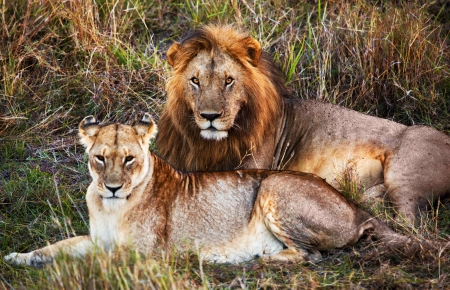 Male lion and female lion - a couple, on savanna. Safari in Serengeti, Tanzania, Africa photo