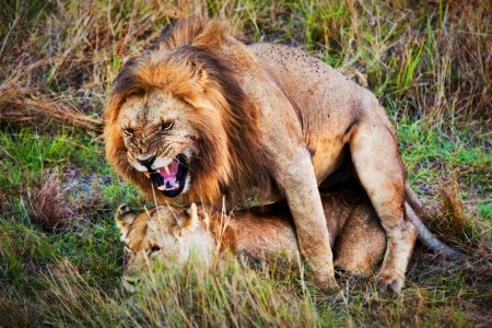 A couple of male lion and female lion coitus on savanna. Safari in Serengeti, Tanzania, Africa