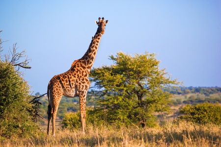 Giraffe on savanna, full view. Safari in Serengeti, Tanzania, Africa photo