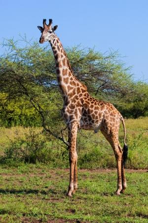 giraffa camelopardalis: Giraffe on savanna, full view. Safari in Serengeti, Tanzania, Africa
