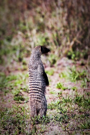 mongoose: Mongoose standing and observing. Safari in Serengeti, Tanzania, Africa