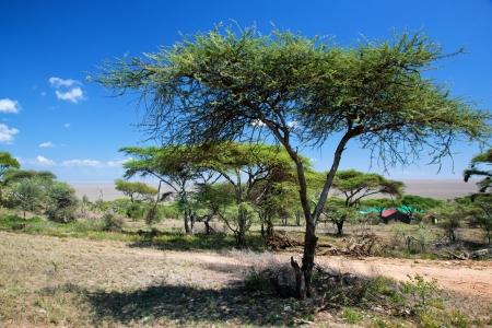 acacia tree: Savanna landscape, acacia trees in Africa, Serengeti, Tanzania.