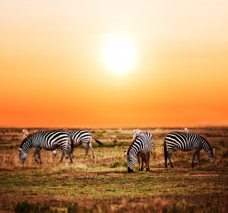 Zebras herd on savanna at sunset, Africa. Safari in Serengeti, Tanzania photo