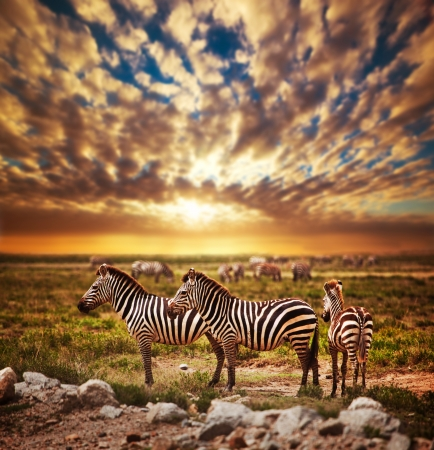 Zebras herd on savanna at sunset, Africa. Safari in Serengeti, Tanzania Stock Photo