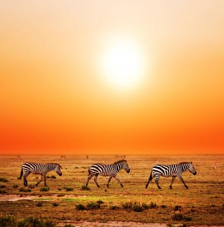 cebra: Cebras manada en la sabana al atardecer, �frica. Safari en el Serengeti, Tanzania Foto de archivo