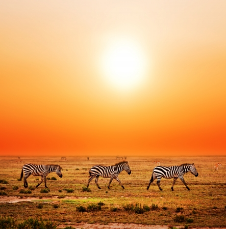 herd: Zebras herd on savanna at sunset, Africa. Safari in Serengeti, Tanzania Stock Photo