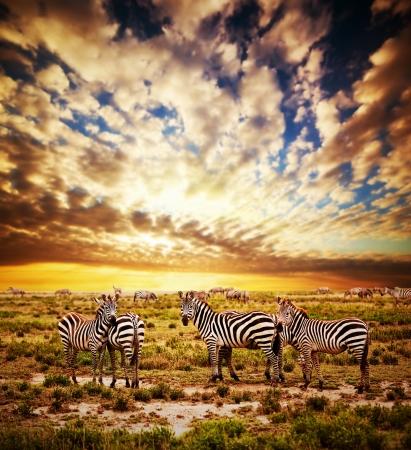 africa sunset: Zebras herd on savanna at sunset, Africa. Safari in Serengeti, Tanzania Stock Photo