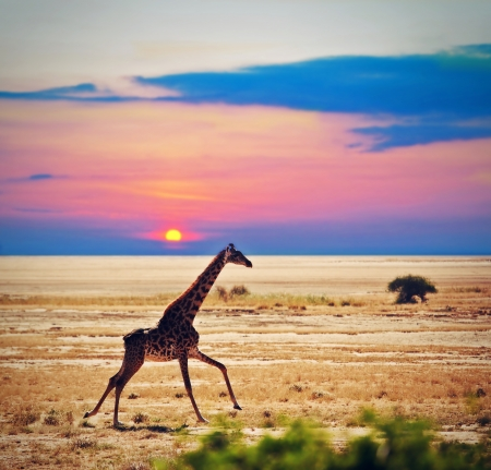 Giraffe running on savanna at sunset. Safari in Amboseli, Kenya, Africa photo