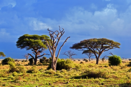 acacia tree: Savanna landscape and its flora in Africa, Amboseli, Kenya