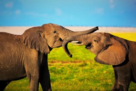 Elephants playing with their trunks on African savanna. Safari in Amboseli, Kenya, Africa photo