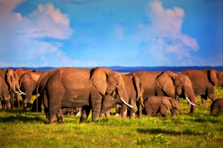 Elephants herd on African savanna. Safari in Amboseli, Kenya, Africa photo