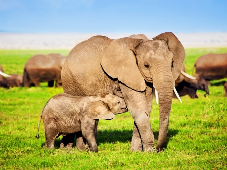 Mother elephant feeding a baby elephant on African savanna. Safari in Amboseli, Kenya, Africa Stock Photo