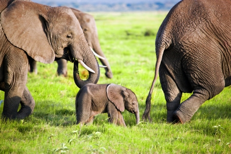 Elefantes en la sabana africana familia. Safari en Amboseli, Kenia, África Foto de archivo - 17962418