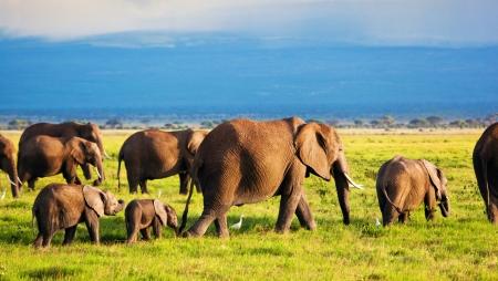 Elefantes de la familia y de las vacas en la sabana africana. Safari en Amboseli, Kenia, África Foto de archivo