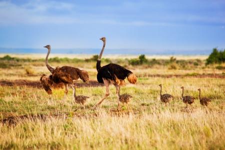 struś: Rodzina strusia chodzenia na sawannie w Afryce. Safari w Amboseli, Kenia Zdjęcie Seryjne