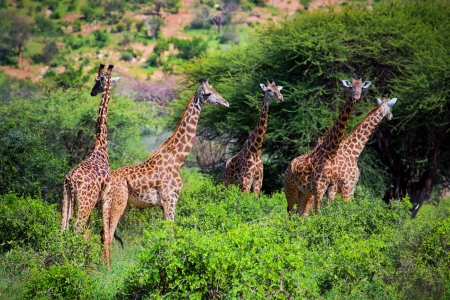 Three giraffes on savanna. Safari in Tsavo West, Kenya, Africa photo