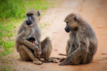 Baboon monkeys - a parent and a baby in African bush. Safari in Tsavo West, Kenya photo