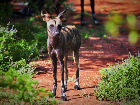 Lycaon, the African wild dog. A very endangered species spotted on safari in Tsavo West, Kenya on december 2012. photo