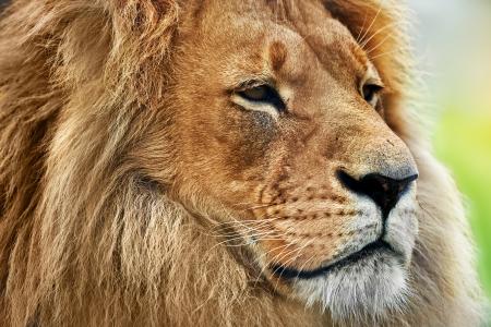 Leeuw portret op savanne, safari Grote volwassen leeuw met rijke manen Stockfoto